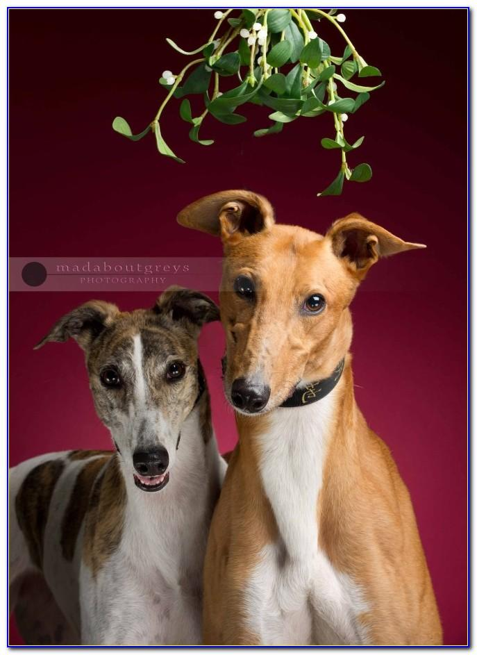 Funny Greyhound Birthday Cards